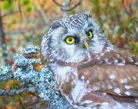 Portrait of boreal owl in characteristic interior. Bird of Minerva, goddess of wisdom. Portrait of boreal owl Tengmalm`s owl, Aegolius funereus in characteristic Royalty Free Stock Photo