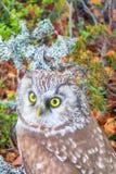 Portrait of boreal owl in characteristic interior. Bird of Minerva, goddess of wisdom. Portrait of boreal owl Tengmalm`s owl, Aegolius funereus in characteristic Stock Image