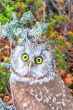 Portrait of boreal owl in characteristic interior. Wood spirit. Portrait of boreal owl Tengmalm`s owl, Aegolius funereus in characteristic interior of Northern Stock Images