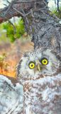 Portrait of boreal owl in time of aggression. Arrogant evil owl, forest spirit, hob. Portrait of boreal owl (Tengmalm's owl, Aegolius funereus) in time of Stock Photography