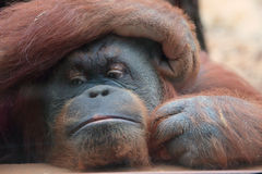 Portrait of bornean orangutan Royalty Free Stock Photo