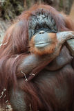Portrait of bornean orangutan Stock Photos