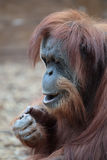 Portrait of bornean orangutan Royalty Free Stock Image