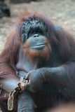 Portrait of bornean orangutan Stock Image