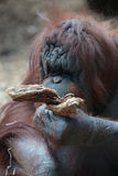 Portrait of bornean orangutan Royalty Free Stock Photography
