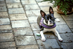 Portrait of a Boston Terrier. Outdoor portrait of a young Boston Terrier on a sunny summer day royalty free stock image