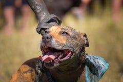 Portrait boueux de visage de chien photo stock