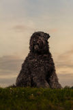 Portrait of Bouvier des Flandres Royalty Free Stock Photo