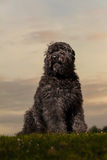 Portrait of Bouvier des Flandres. Black Bouvier des Flandres with a sunset backdrop. Beautiful outdoors dog portrait Royalty Free Stock Photos