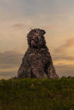Portrait of Bouvier des Flandres Stock Image