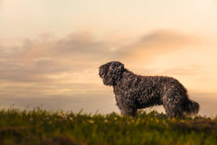 Portrait of Bouvier des Flandres Stock Photography