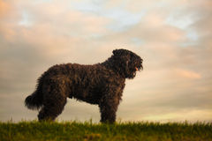 Portrait of Bouvier des Flandres Royalty Free Stock Photography