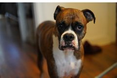 Portrait of a boxer royalty free stock photos