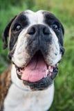 Portrait of boxer dog Royalty Free Stock Photos