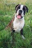 Portrait of boxer dog Stock Image