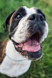 Portrait of boxer dog Royalty Free Stock Image