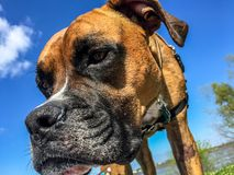 Portrait of a Boxer Dog and blue sky Stock Images