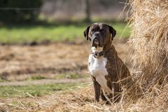 Photo of a Boxer dog in the field next to a heap of straw royalty free stock photos