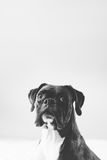 A portrait of a boxer dog with natural ears in black and white Stock Photography