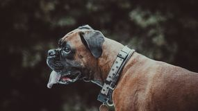 Portrait of Boxer dog. Profile head portrait of a purebred Boxer dog staring with attentive facial expression Stock Photography