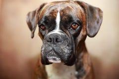 Portrait of a boxer dog. Studio portrait of a German boxer dog stock image