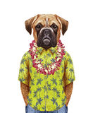 Portrait of Boxer Dog  in a summer shirt with Hawaiian Lei. Hand-drawn illustration, digitally colored Royalty Free Stock Photo