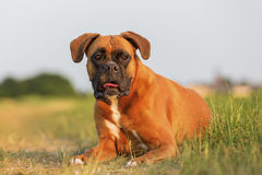 Portrait of a boxer dog. Who is lying on the meadow stock photography
