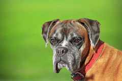 Portrait of a boxer doog Stock Images