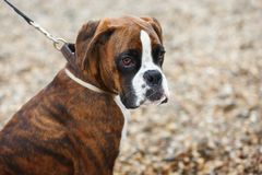Portrait of boxer puppy dog on the beach. Portrait of boxer puppy dog on a pebble beach, selective focus, copy space royalty free stock image