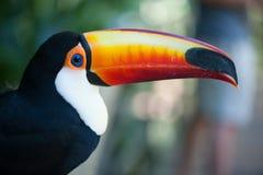Portrait brésilien de toucan Photos stock