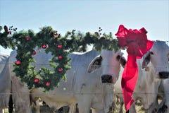 Brahma Cow Christmas Portrait