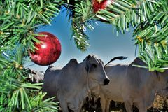 Brahma Cow Christmas Portrait. Portrait of Brahma cows at Christmas Stock Photography