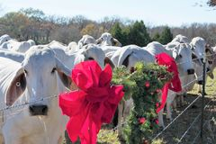 Brahma Cow Christmas Portrait. Portrait of Brahma cows at Christmas Royalty Free Stock Photo