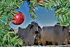 Brahma Cow Christmas Portrait. Portrait of Brahma cows at Christnas Royalty Free Stock Image
