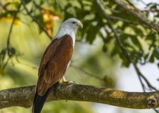 Portrait of a Brahminy Kite - Haliastur Indus royalty free stock photos