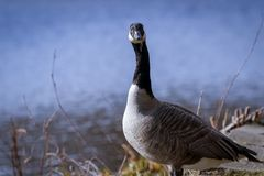 Portrait of Branta Goose royalty free stock photography
