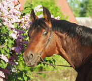Portrait of breed stallion near flowers Stock Photography