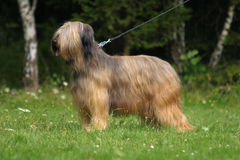 Portrait of briard. Portrait of fawn briard breed in stand Stock Photo