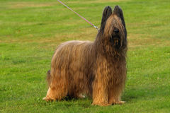 Portrait of briard. Portrait of fawn briard breed in stand Stock Photography