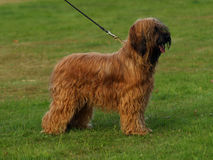 Portrait of briard. Stock Photo