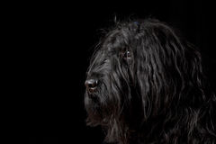Portrait of Briard dog Stock Images
