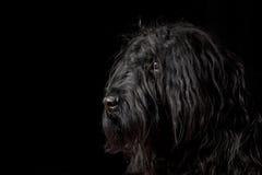 Portrait of Briard dog. Black briard profile portrait. Black on black Stock Images