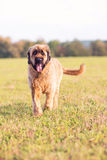 Portrait of Briard Dog on meadow Stock Photography