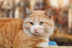 Portrait of bright red cat Stock Photo
