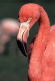 Portrait of Brightly Plumed American Flamingo. Close up profile view of American Flamingo (Phoenicopterus ruber) with brilliant orange plummage and long s Royalty Free Stock Photo