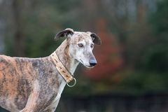 Portrait of a brindle Galgo Espanol stock photo
