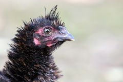 Portrait of disheveled black poultry. Portrait of bristling black hen on the nice blur background royalty free stock image