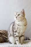 Portrait of britain cat over white background. Stock Images