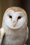 Portrait of a British Barn Owl. A close-up portrait of a British barn owl Stock Photos