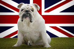 Portrait of British Bulldog sitting in front of Union Jack Royalty Free Stock Image
